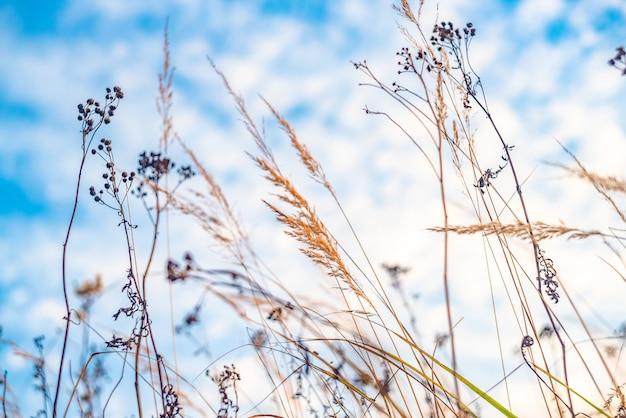 Herfst veld. droog hoog gras en blauwe lucht.