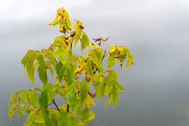 Herfst verdorde bladeren van de esdoorn op een wazige mistige achtergrond