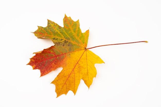 Herfst vergeeld esdoornblad. geïsoleerd op een witte achtergrond. gradiënt gekleurd blad van de herfst