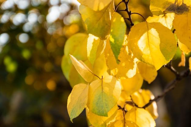 Herfstachtergrond met gele berkenbladeren op onscherpe achtergrond bij zonnig weer in een stadspark