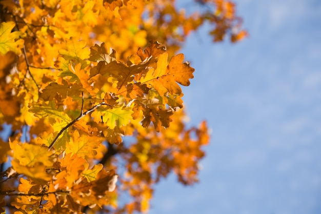 Herfstbladeren van eik