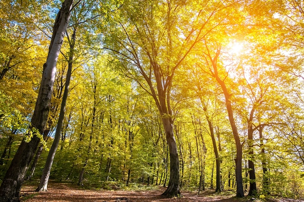 Herfstbos met fel oranje en gele bladeren. dichte bossen met dikke luifels bij zonnig herfstweer.