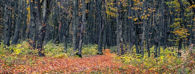 Herfstbos met kleurrijke bladeren aan de bomen en gevallen bladeren op de weg tussen de bomen. panorama van herfstbos