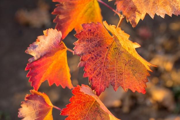 Herfstdruiven met rode bladeren, de wijnstok bij zonsondergang is roodachtig geel