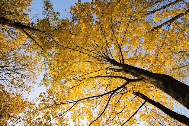Herfstlandschap met hoge bomen, geel gebladerte, zonlicht verlicht het park, herfstveranderingen in de natuur