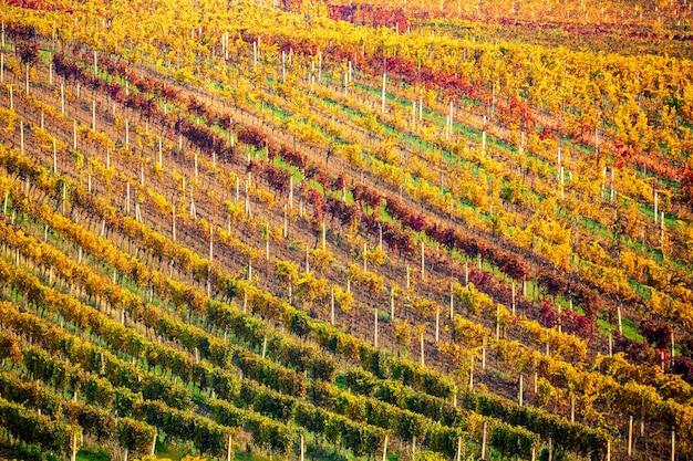 Herfstlandschap met kleurrijke wijngaarden. druivenwijngaarden van zuid-moravië in tsjechië. rijen van wijngaard wijnstokken. vine cultuur kleurrijke herfst achtergrond.
