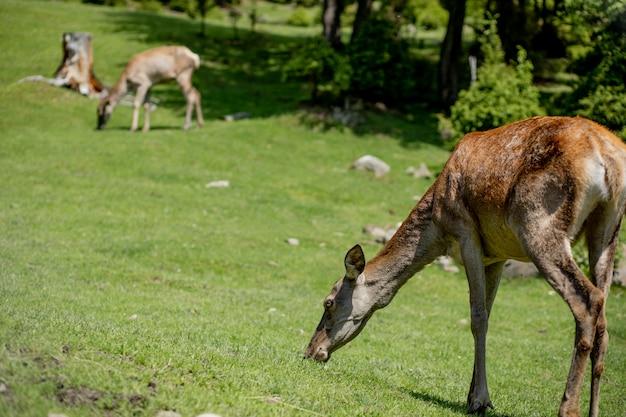 Herten grazen op de weide. herten kudde weide grazen. herten kudde op hertenboerderij. pasgeboren reeën, wilde lenteaard.