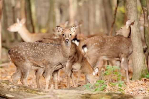 Herten in herfstbos
