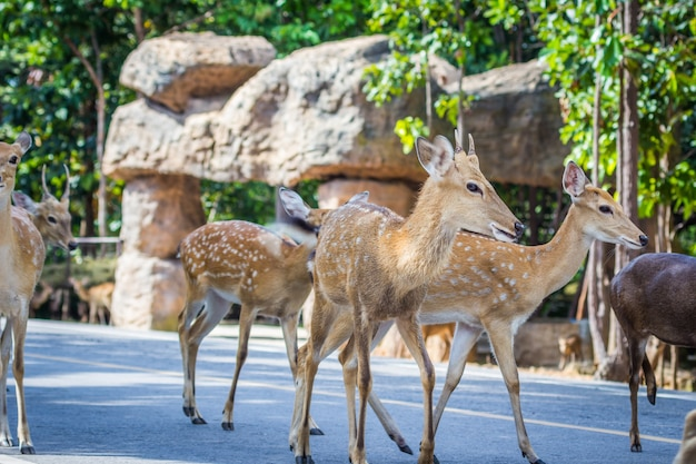 Herten steken de straat over, de natuur