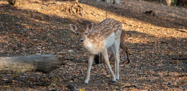 Herten zoeken voedsel tussen het droge gras in het bos. een moeder die haar kind bedekt, is een gevaar.