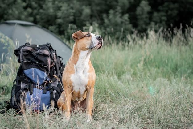 Het aanbiddelijke binnenlandse huisdier zit dichtbij een grote wandelingsrugzak voor een tent bij aard