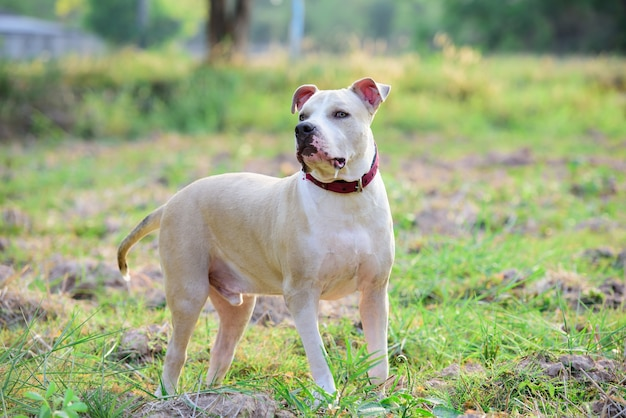 Het amerikaanse pitbull-puppy spelen op grasgebied