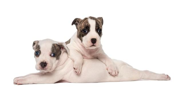 Het amerikaanse staffordshire terrier-puppy liggen