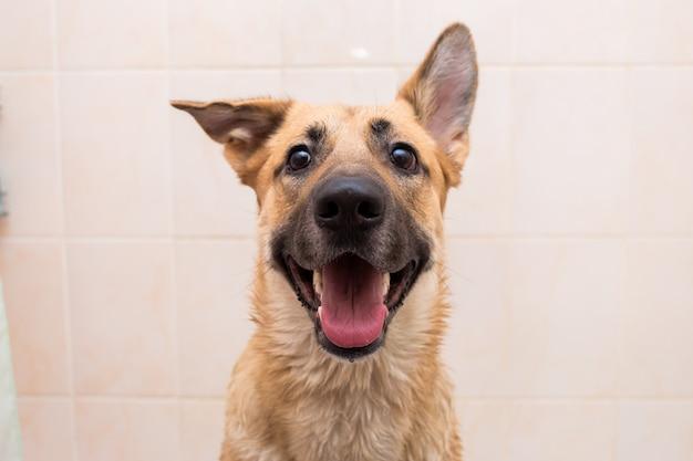 Het baden van de grappige hond van gemengd ras. hond die een schuimbad neemt. verzorgende hond.
