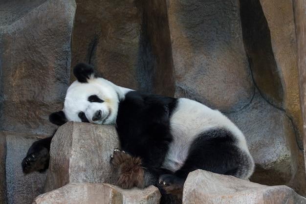 Het beeld van een panda slaapt op de rotsen. wilde dieren.