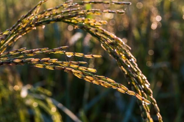Het beeld van een volwassen rijstplant klaar om te oogsten
