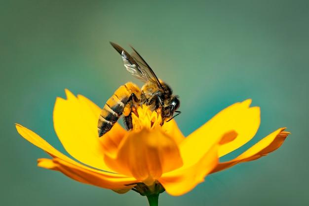 Het beeld van reuzehoningbij (apis-dorsata) op gele bloem verzamelt nectar