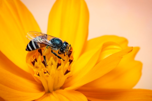Het beeld van weinig bij of de dwergbij (floris apis) op gele bloem verzamelt nectar