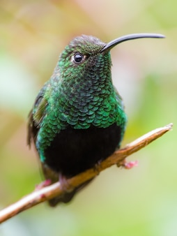 Het bestralen van groene kolibrie op een tak