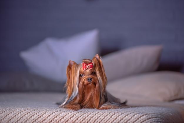 Het betoverende hondras yorkshire terrier ligt op het bed in een fotostudio met het binnenland van een nieuw jaar.