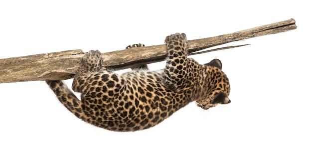 Het bevlekte luipaardwelp hangen op een tak