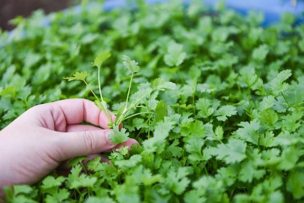 Het blad van de korianderinstallatie bij het met de hand plukken op graden aardachtergrond. de groene koriander verlaat groente voor voedselingrediënten