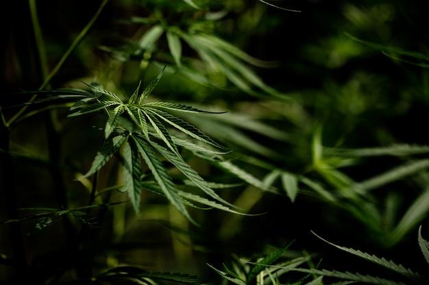 Het bladclose-up van de cannabismarihuana