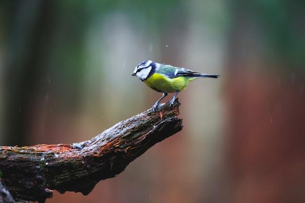 Het blauwe close-up van de meesvogel