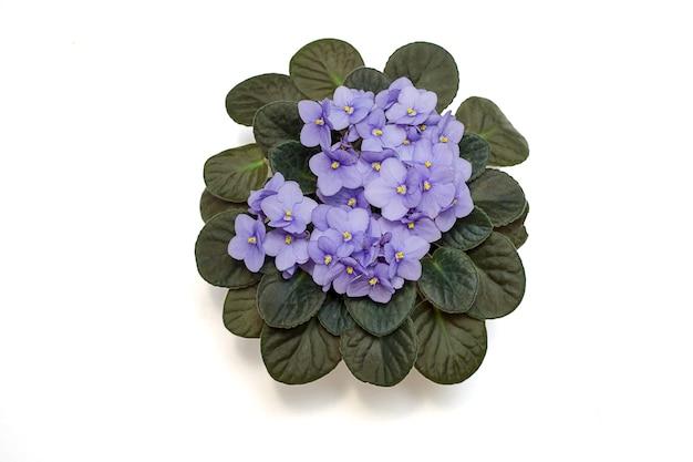 Het bloeien van de delicate altviool, de violette kleur van de sering in de pot. plat leggen. geïsoleerd op een witte achtergrond. close-up foto. kopieer ruimte. bovenaanzicht