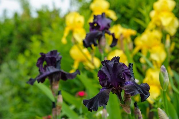 Het bloeiende close-up van de jonge haanbloem