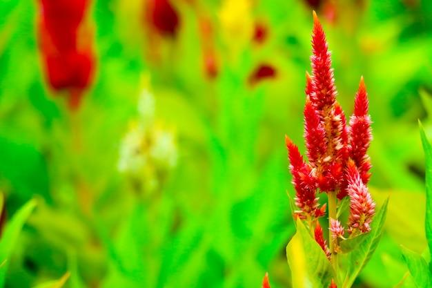 Het boeket van celosia bloeit 's zomers in de tuin