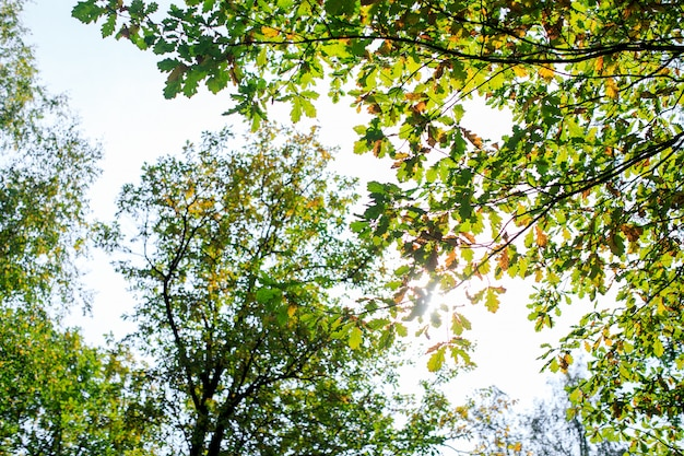 Het bos van de de herfstmuur met esdoorn rode gele bladeren