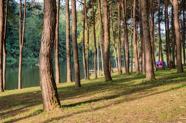 Het bos van de pijnboomboom bij het nationale park van pang oung in mae hong son, thailand