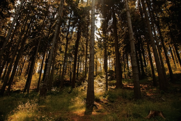 Het bos van de pijnboomboom in de zomertijd in sudetes, polen