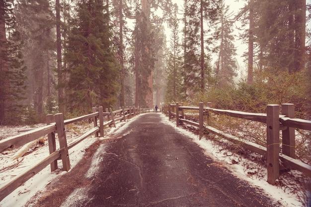 Het bos van giant sequoia trees bedekt met sneeuw