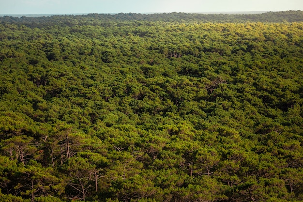 Het bos van les landes gezien vanaf de duin van pilat, in arcachon, aquitaine, frankrijk.