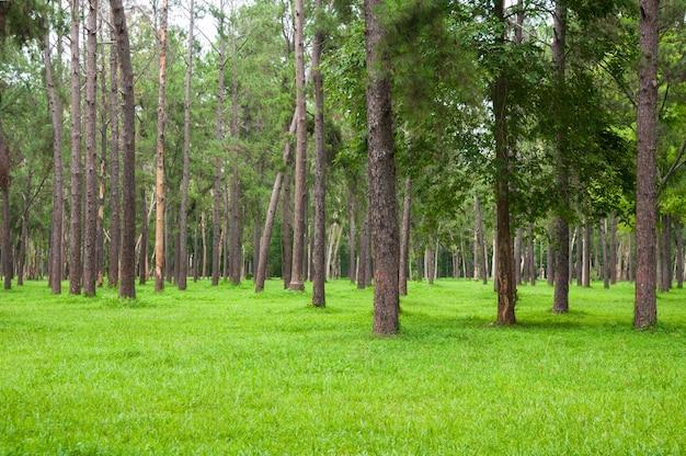 Het bos van pijnboombomen met groen gras