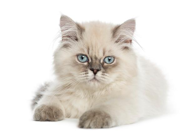 Het britse longhair-katje liggen, die de camera bekijken