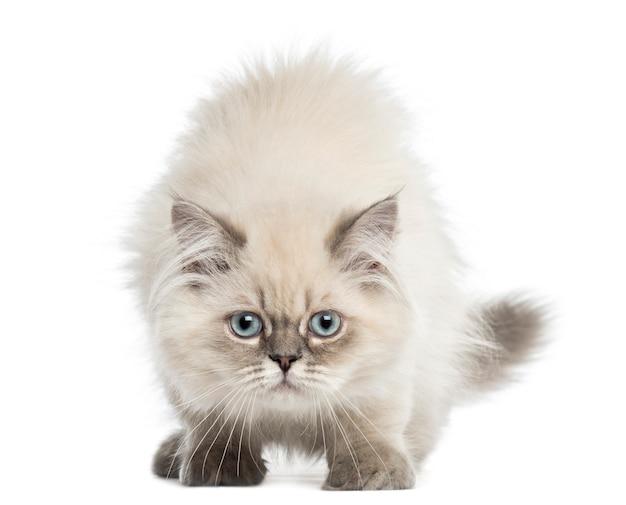 Het britse longhair-katje onder ogen zien, die de camera bekijken die op wit wordt geïsoleerd