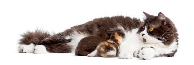 Het britse longhair-liggen, die zijn geïsoleerde katjes voedt
