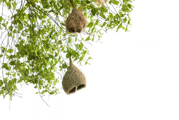 Het bruine droge nest van de grasvogel van weversvogel op de boom op wit wordt geïsoleerd dat