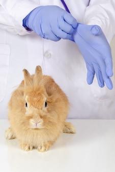 Het bruine konijn zit op lijst voor gezondheidscontrole door dierenarts arts bij medische kliniek