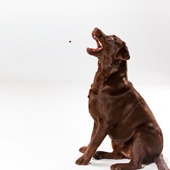 Het bruine labrador retriever stellen