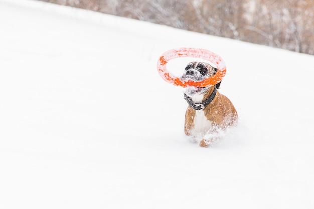 Het bruine pedigreed hond spelen met oranje cirkelstuk speelgoed op het sneeuwgebied. bokser. lopende hond