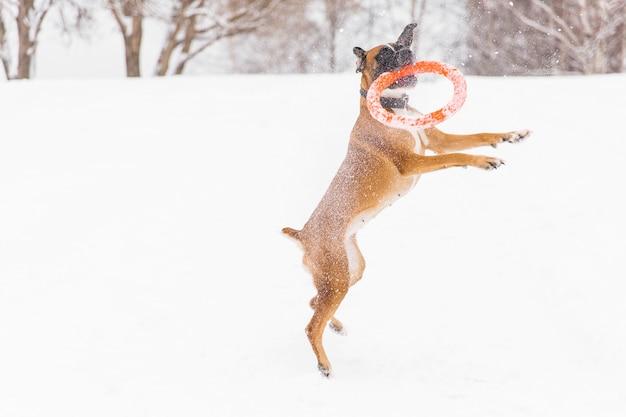 Het bruine pedigreed hond spelen met oranje cirkelstuk speelgoed op het sneeuwgebied. bokser. springende hond