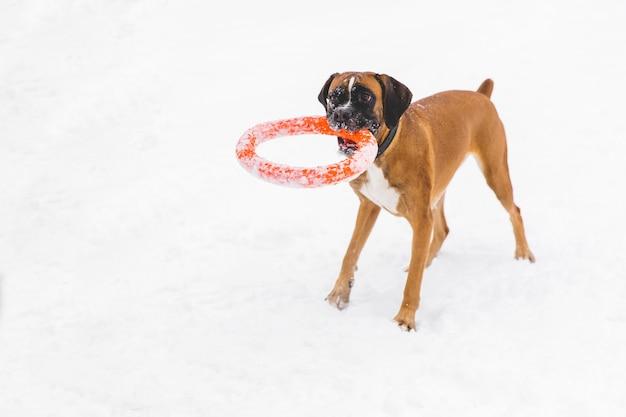 Het bruine pedigreed hond spelen met oranje cirkelstuk speelgoed op het sneeuwgebied. bokser