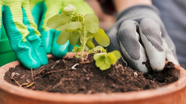 Het close-up van mannelijke en vrouwelijke tuinman plant de zaailing in pot