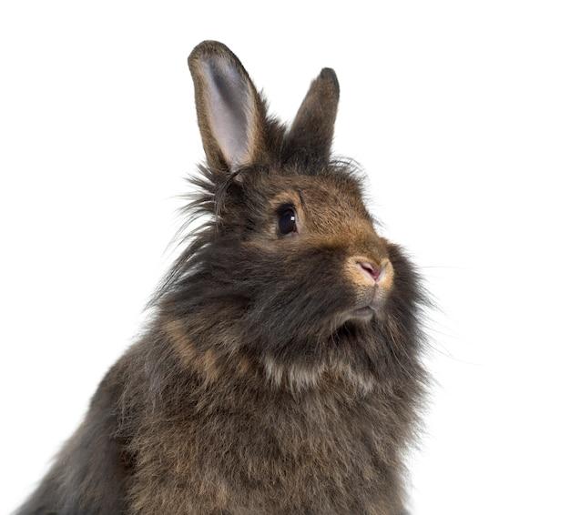 Het close-up van mini snoeit konijn dat op wit wordt geïsoleerd