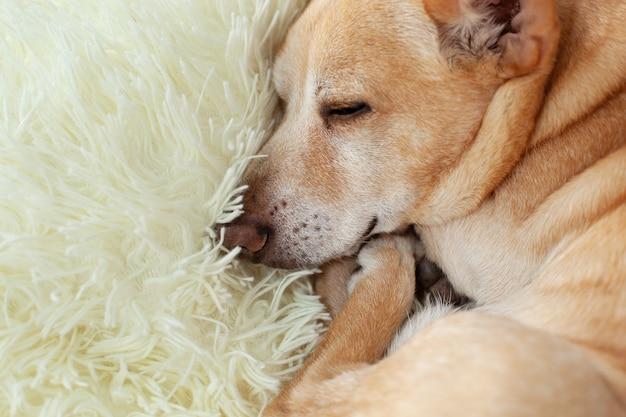 Het close-upportret weinig vermoeide of verveelde chihuahua-hondslaap op bank op een zonnige dag op deken, hond wacht.