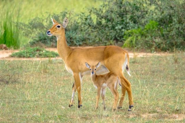 Het close-upschot van een babyhert die zich dichtbij zijn moederverstand bevinden vertroebelde natuurlijke achtergrond